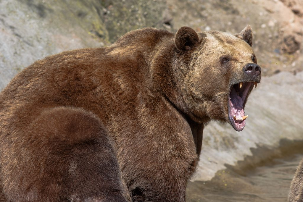 Bear attack